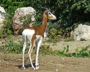 753px-Mhorr_Gazelle,_Zoo,_Budapest[1]