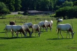 800px-Oryx_dammah_-Marwell_Wildlife,_Hampshire,_England-8a[1]